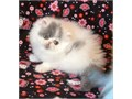Darling little Show Quality Purebred Persian Bi-Color Van Female Kitten from CFA