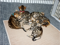 Gorgeous golden Bengal kittens  Super healthy  Super friendly  6 kittens delivered 81317  Thes