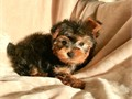 Yorkshire Terrier Male Puppy named KODY the cutest little guy 10 wks old ACA Registered