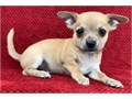 Chihuahua puppiesNice eyes and so cuteGoes well with other petsready now to leave for their new o