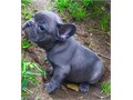 AKC superior quality French bulldog puppies rare blue raised in our home socialized handled and l