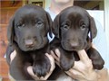 labrador retriever puppiesakc registeredchocolatesilver factoredshots wormed and health guaran