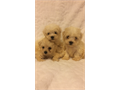 Adorable MaltiPoo Puppies are here I have one female and two males available Born July 4th and are
