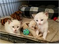 9 weeks oldlitter box trainedBeautiful triplets ready for animal loving familyvery lovableplayfu