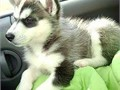 This Siberian husky puppy is 12 weeks old They are vaccinated vet checked wormed and I have all v