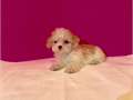Adorable super cute maltipoo puppies ready female and male availableup to date on shots and dewo