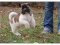 Akita puppies availableText 707 340 9693 or email perezcraig51gmailcom for mo