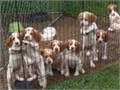 Great bloodline ready to go now 4 females 4 males Call or text anytime