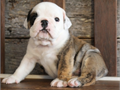 Quality English Bulldog Pups are up to date on shots text or call for more information text now 9