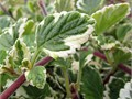 gorgeous variegated foliage most beautiful and aromatic mint plant of them all 1 gallon 1 foot tall