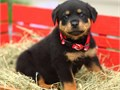 Hello I have a male Rottweiler he is 8 weeks old he has his shots and he is dewormed ready for hi