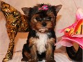 Super adorable yorkie puppies MaleFemale various ages 2 to 5 lbs full grown have vaccinated and