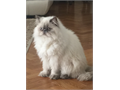 Beautiful and adorable Persian Himalayan cat Female vaccinated neutered 11 months old sweet and