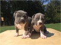 9 Beautiful BullyPit Puppies9 Beautiful BullyPit Puppies father is Hermes Largest Head Olde Engli