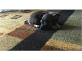 Tiny black and brown Chihuahua for sale born 07152017 She just learned to walk shes very shy