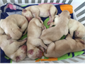 Yellow Labrador Retriever puppies available They are 70000 and come with limited AKC paperwork f