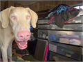 DOBERMAN PUPAKC 7 MOS WHITE WBLUE BYES MALE MICROCHIPTaildewclaws done shots current This