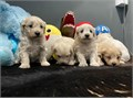 We are pleased to announce the safe arrival of our 4 absolutely stunning maltipoo puppies with beaut