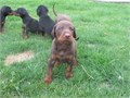 Good PupsThey are Males and Females Available nowThey are Akc registered and vet checkedFor More