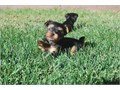 I have two Jovial Yorkie Puppies which are ready to join a pet loving Home These puppies have been