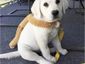 10 weeks old lovely labrador puppies available for rehomingtext or call 4243316361 for more details