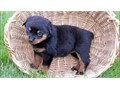 rottweiler puppiesakc-health certificates males  females avail parents on premisestails docked