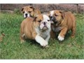 Well Trained Precious English Bulldog Puppies Cute puppies with the Perfect Bulldog Look short