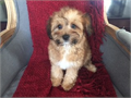 Babydoll faces maltipoo puppy available by a licensed breeder  Born 36 up to date on shots and de