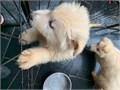 English Bulldog Puppies for saleMale and Female Puppies All puppies come with age appropriate sho