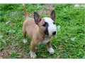 We have Male and Female Bull Terrier Puppies available for saleText or call     630 384 - 20 99
