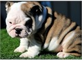 Very cute english bull puppies they are three in numbers and are ready to be re homed by so doing