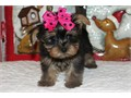 Out Standing Cute and Akc Register Yorkie PuppiesCharming Teacup Yorkie puppies Available For Lovel