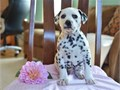 Delightful Dalmatian Puppies available for salevery adorable Dalmatian pup and c