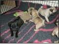 httpswwwplanetpugsus Pug puppies male and female potty trained with shots taken 520 each Con