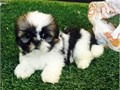 SHIH TZU male  females puppies come with AKC papers and four generation family treeText or call