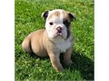 Adorable outstanding English Bulldog puppies ready for their new and forever lovely homeGood with k