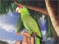 Beautiful Handfed Baby Red Crowned Amazon Parrot for 2200 Now Shipping Nationwide USA Dont Email