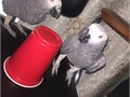 Vet check and  registard  Health and medical certificates from our vetparrots come alongside with
