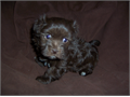 Beautiful male chocolate Havanese puppy  AKC registered with champion bloodlines  Very sweet play