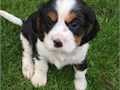 Beautiful Cavalier King Charles Puppies 1st vaccination  Microchip Wormed every 2 weeks since bir