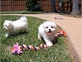 We now have available our Maltese pups looking for a forever home They are so adorable and very