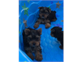 8 WKS OLD PUREBREED AKC YORKIE PUPPIES DEWORMED UTD SHOTS VET CHECKED AND AKC REGISTERED FOR MO