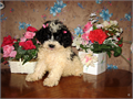 Purebred Tiny Toy Poodle Female Pup CKC Register ONLY AKC Reg EXTRA  Black  White Pa