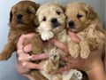 Male and female maltipoo puppies Text 409 263 2608 for more information and pic