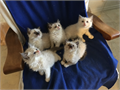 Six precious little furr balls ready to go to their forever homes  First vacc Good health guarante