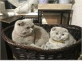 Excellent Males and Females British Shorthair Kittens Contact for more information and details