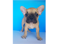 Parti color French bulldog dog perfect disposition  up to date on shots and deworm call to make