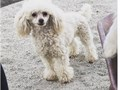 NOT FOR SALE Standard Akc Ckc Ukc red sable abstract poodle Proven with large color litters