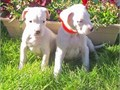 Argentine Dogo puppies for more details and pictures contact me via pwernick7gmailcom or 901 6