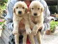 These puppies are 11weeks oldThe puppies have had their first set of puppy shots and health certi